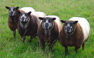 Millside Farm Blue Texel Sheep