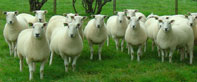 Millside Lleyn Sheep Flock