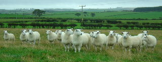 Millside flock of pedigree Lleyn Sheep