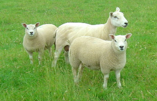 Lleyn ewe with Blue Texel cross lambs